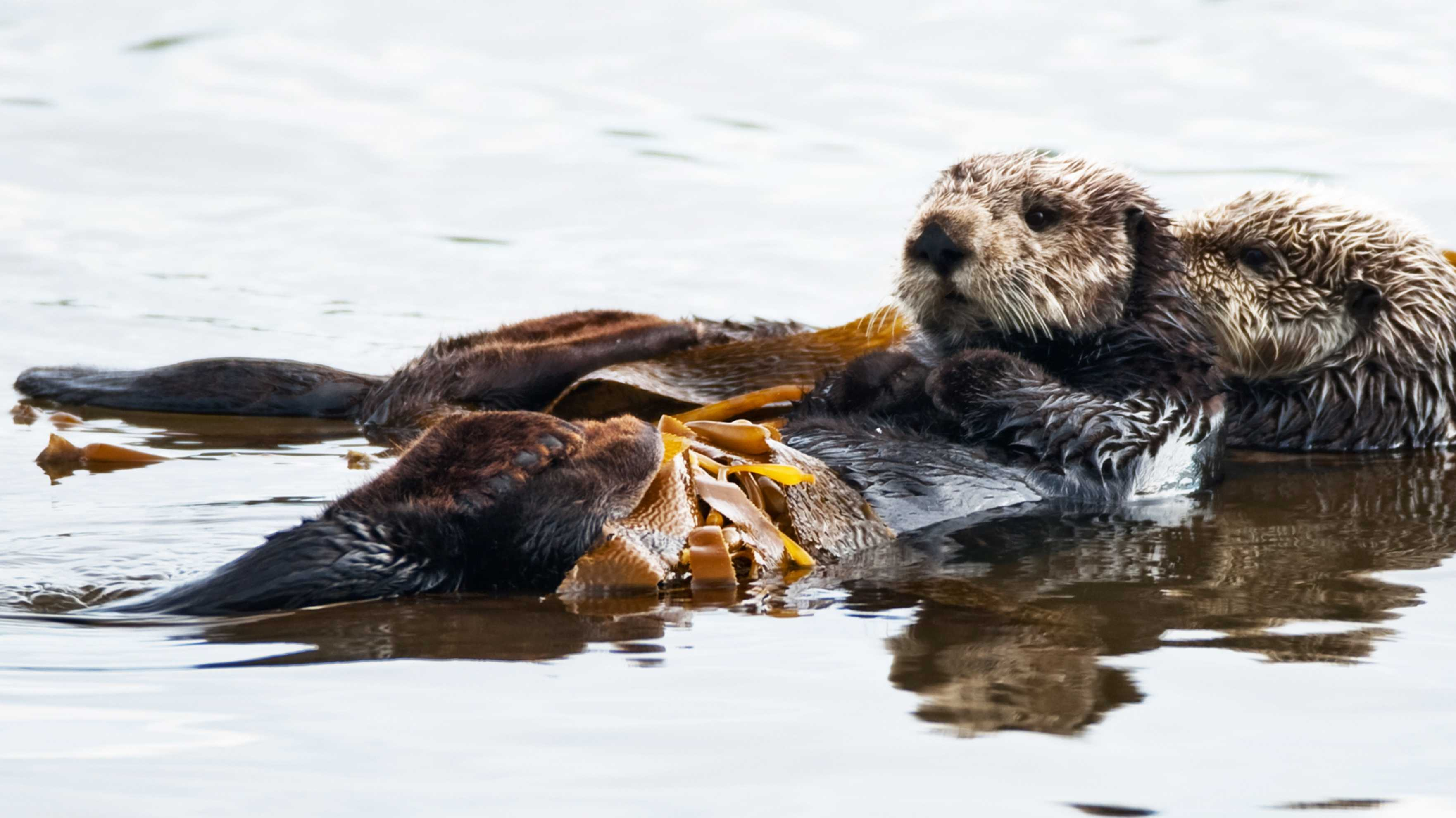 This sea otter was not one of the three that were killed.
