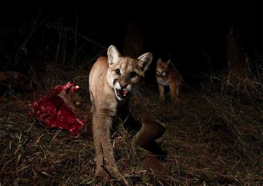 Cougar cub is caught on camera.