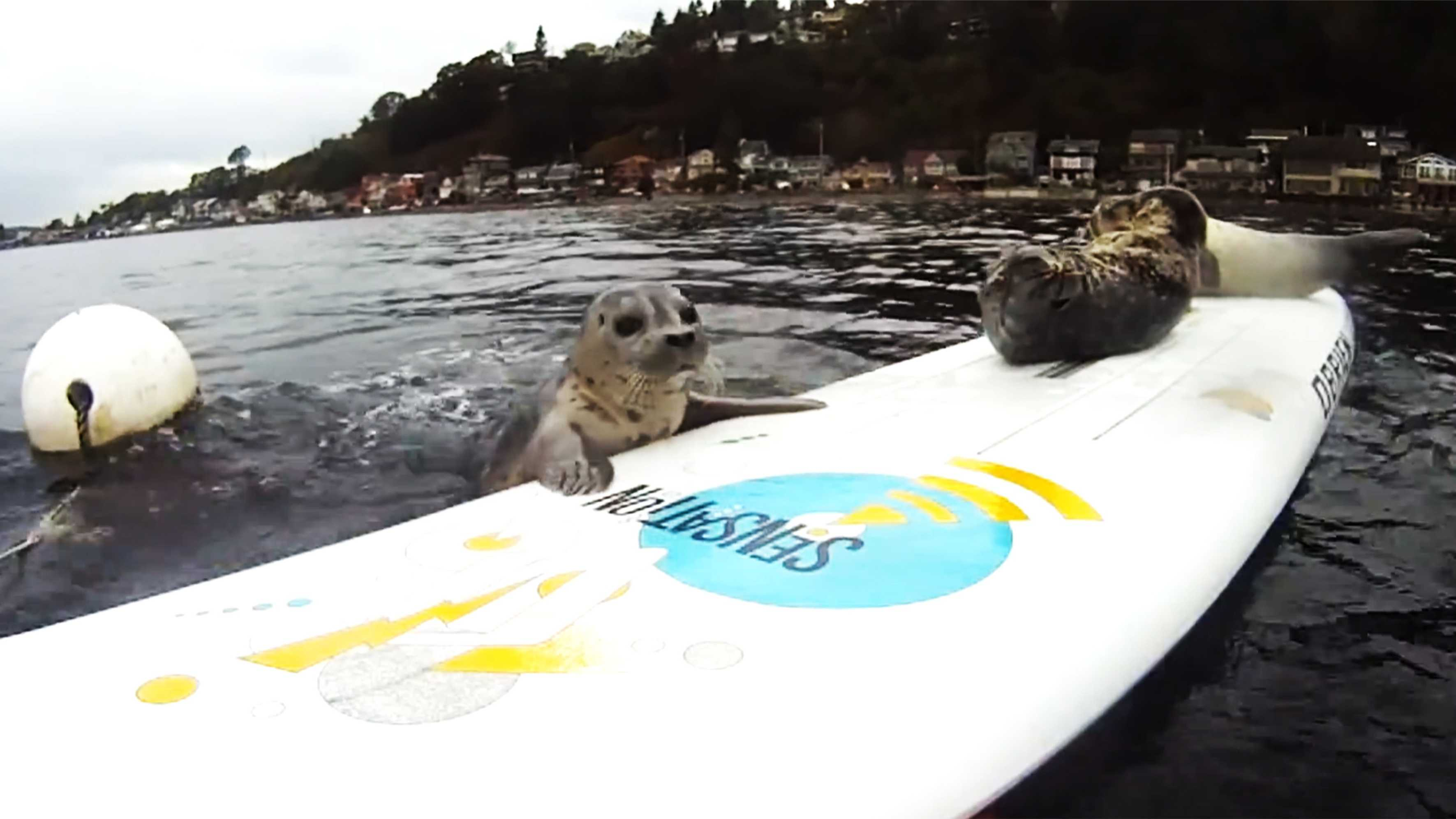 A harbor seal pup attempts to flop on a surfboard.
