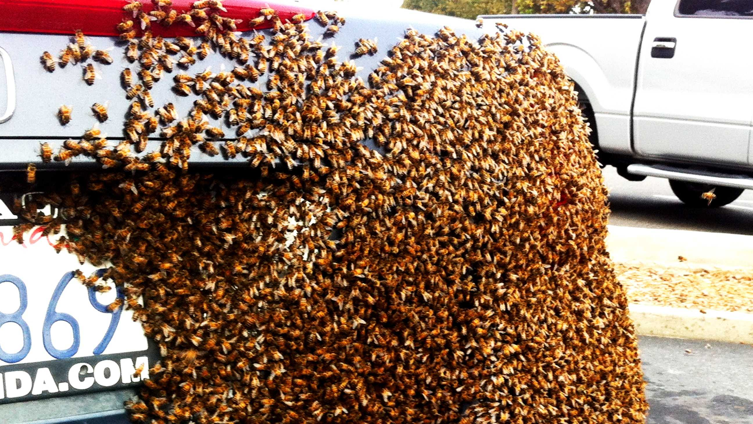 A swarm of bees clusters on a car.
