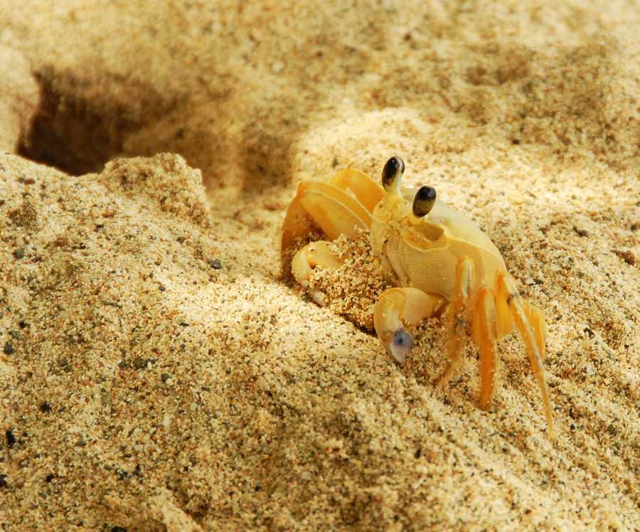 Crab construction on the ocean floor off St. Thomas in the U.S. Virgin Islands.