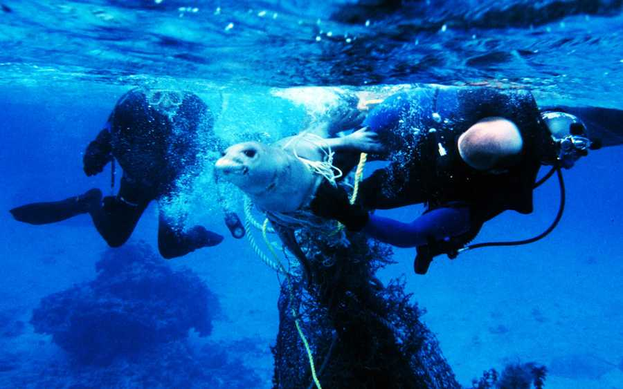 Divers free a seal from fishing nets.