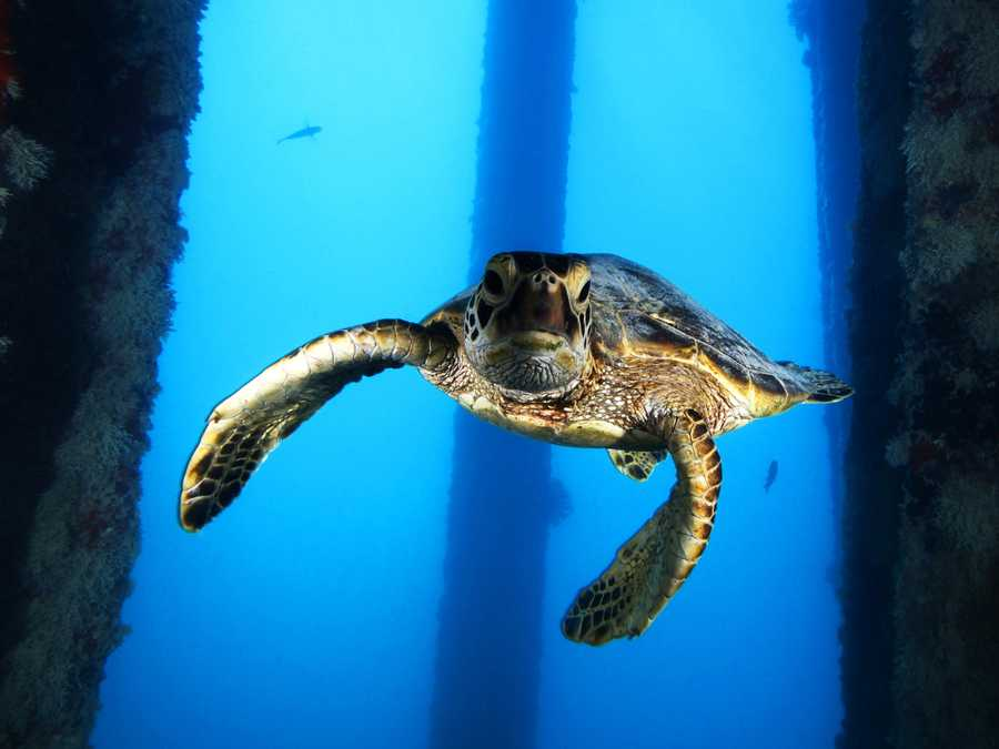 A juvenile green sea turtle gracefully swims underneath the Midway Island Pier in the Papahānaumokuākea Marine National Monument.