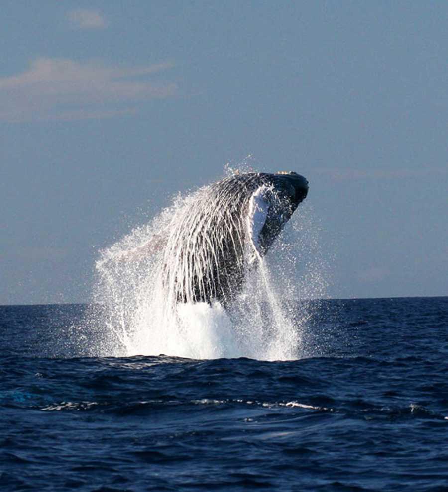 A humpback whale breaches off the coast of Oahu in Hawaii.