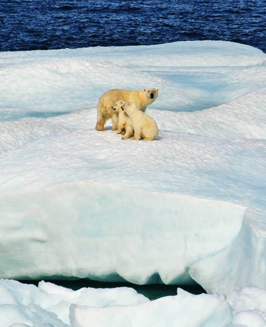 Polar bears have evolved to living in the extreme conditions of the Arctic. Polar bears and seals are dependent on sea ice for foraging, resting, and reproduction.