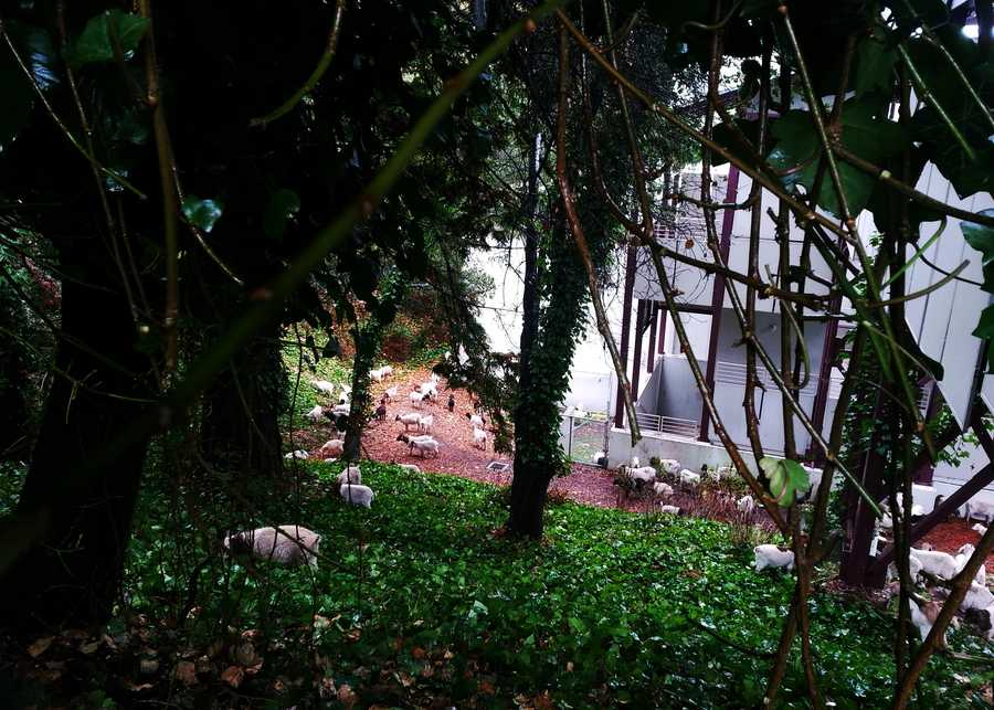 Goats were scattered across spots overgrown with vegetation where homeless camps were found.