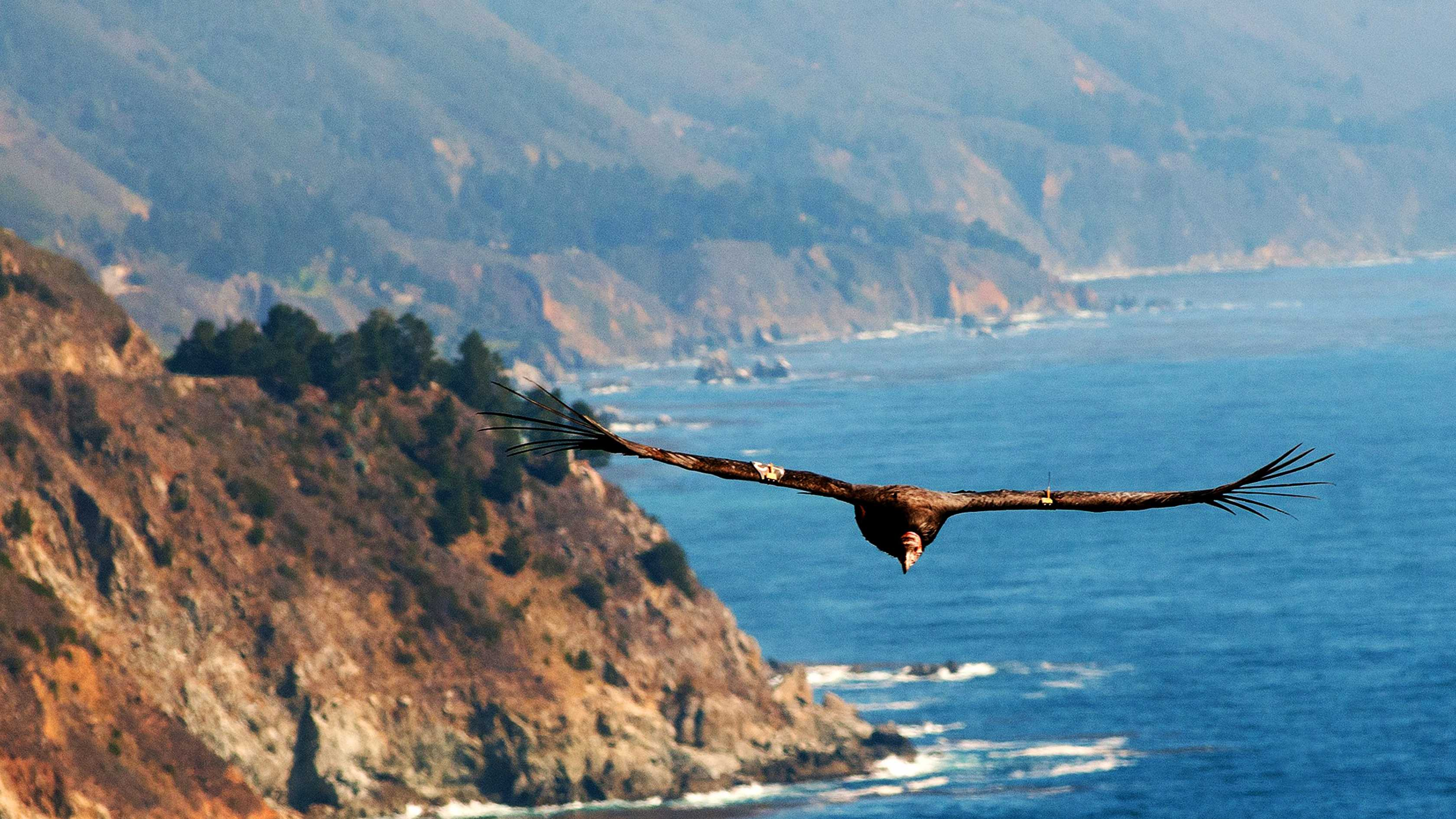 A condor flies over Big Sur. / Photo by Stan Russell