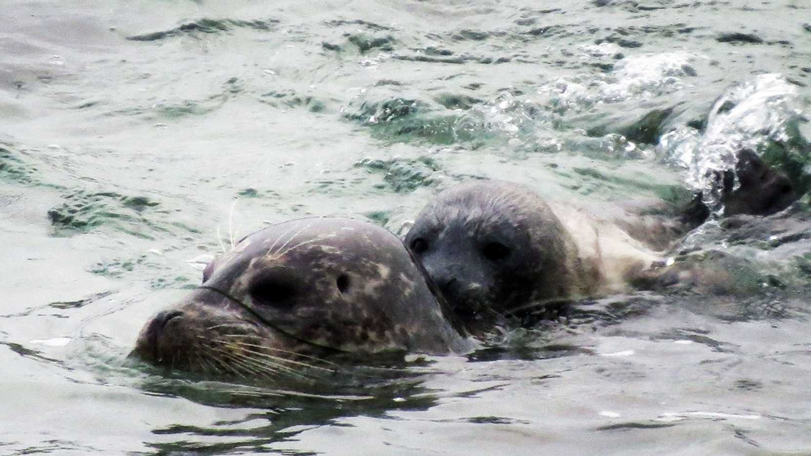 Newborn pup No. 1 gets a swimming lesson from its mother on March 25.