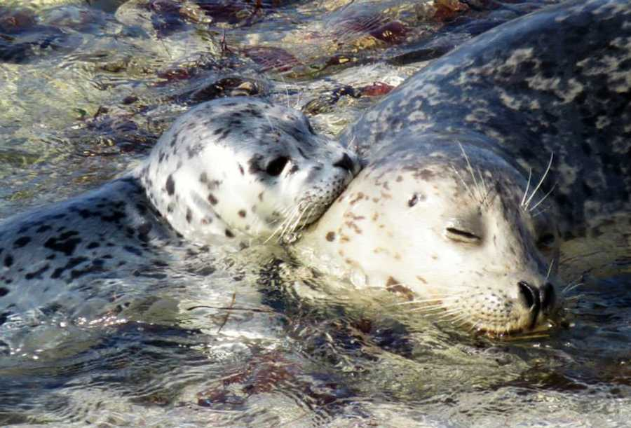 More than 60 adorable harbor seal pups were born on Hopkins Marine Station Beach in Pacific Grove in March and April this year.
