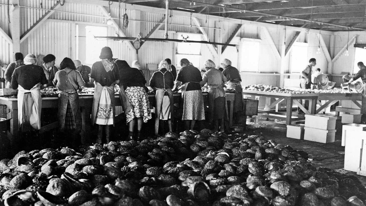 Monterey Cannery Row workers harvest abalone.