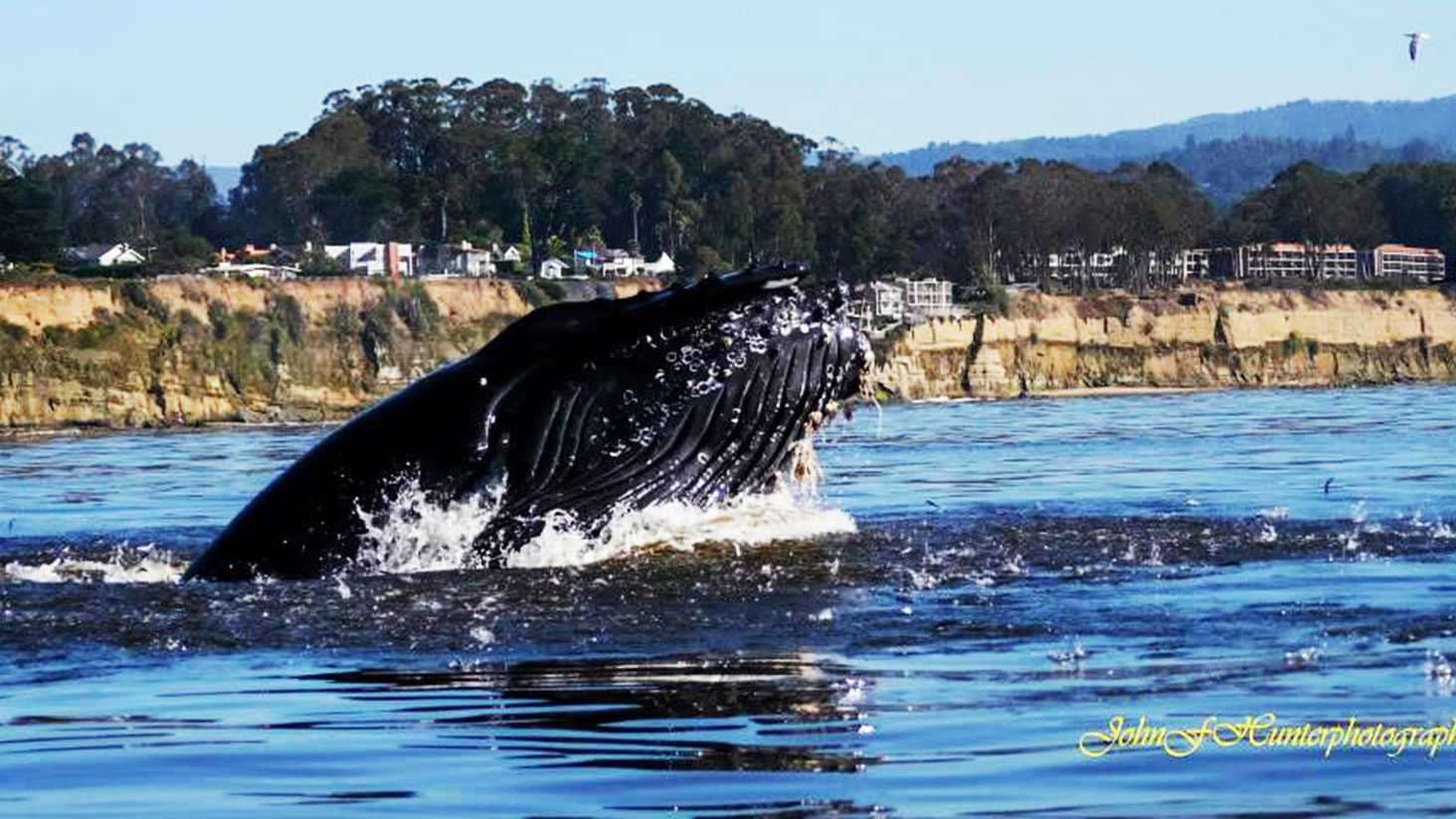 A happy humpback whale swims in Capitola.