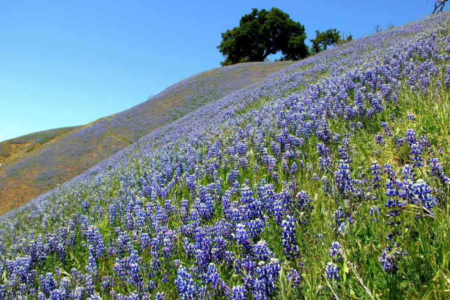 Even without April showers, Big Sur mountains were blooming with May wild flowers on Sunday.