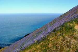 This dazzling purple lupine field is accessible only by climbing a steep hiking trail just south of Pfeiffer Big Sur State Park.