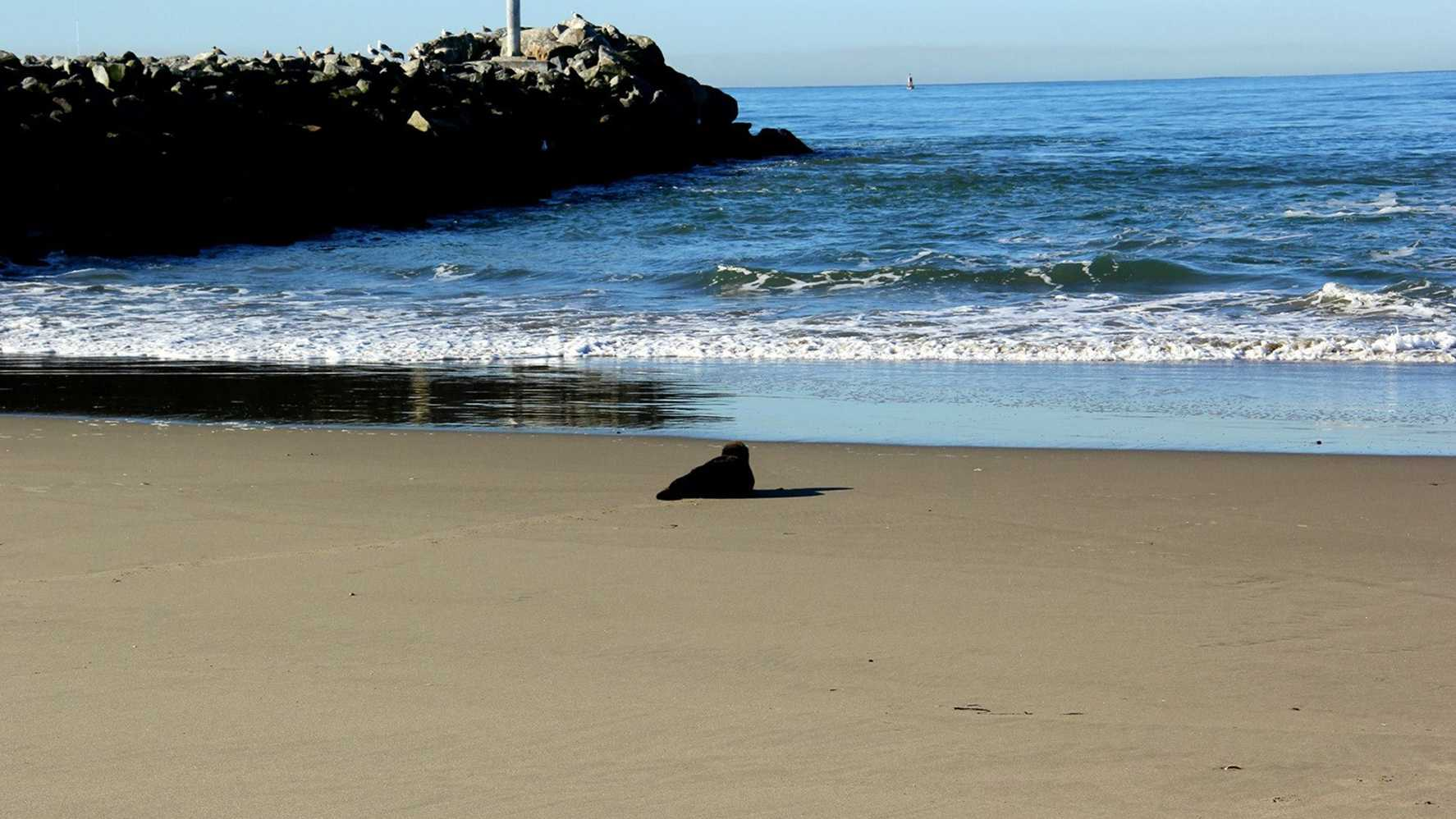 A sea otter makes its way to the ocean in Moss Landing.