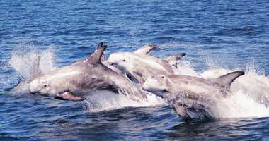 Risso's dolphins jump together while swimming around the Monterey Bay.