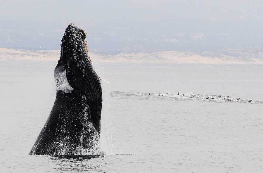 A humpback whale breaches next to a raft of sea lions in Moss Landing. / Photo by Stan Russell