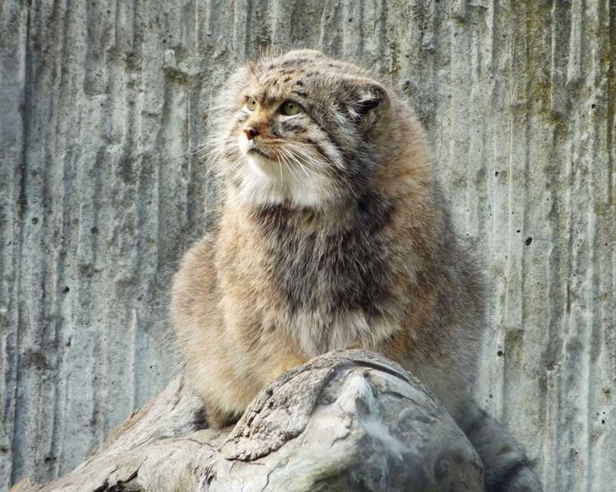 Pallas cats are solitary, elusive animals that share harsh mountainous habitats with snow leopards. Here are photos of Pallas cats living in zoos.