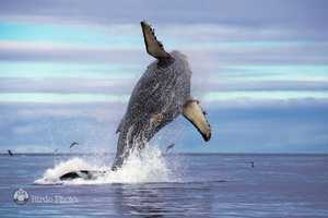 A humpback whale launches its body into the air on July 22, 2014 off Moss Landing.