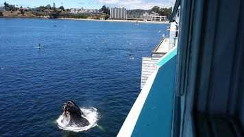 Olitas spotted this humpback hanging out below the Santa Cruz wharf at Cowell Beach on July 22.
