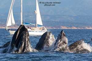 Charlie Witmer shot this photo of humpbacks lung feeding off Moss Landing on July 22.