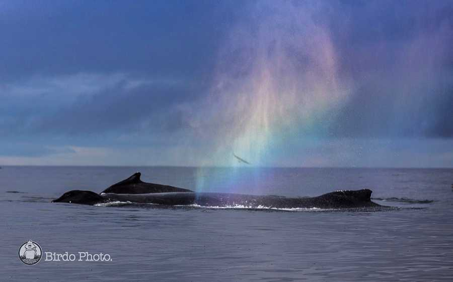 A humpback's spout created a rainbow over the ocean.