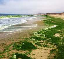 The waves in Monterey are green because of an algae bloom. But that's only where the strangeness begins.