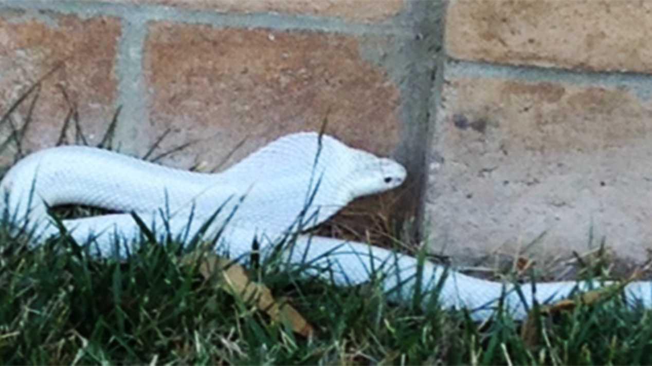white cobra.jpg