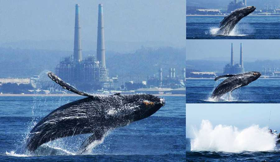 Three humpback whale breaches in the Monterey Bay were captured on camera by photographers Alisa Schulman-Janiger and Jodi Frediani, while boating with Monterey Bay Whale Watch, and Giancarlo Thomae, while boating with Sanctuary Cruises.