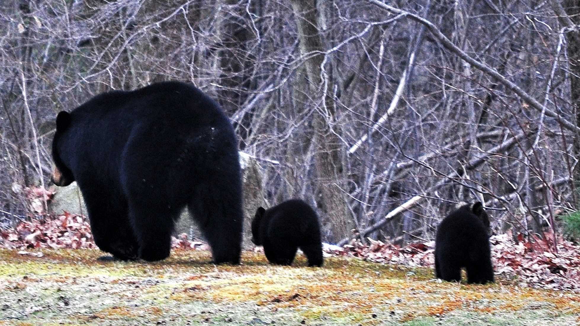 Two baby black bear cubs follow their mother in 2011.