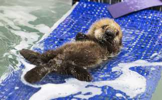 On Tuesday, Shedd Aquarium officials said Pup 681 is ready for a proper name.