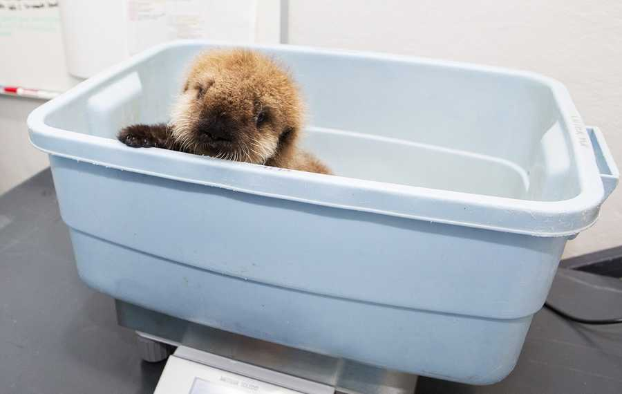 Here is a photo of the pup arriving at Shedd Aquarium in Chicago.