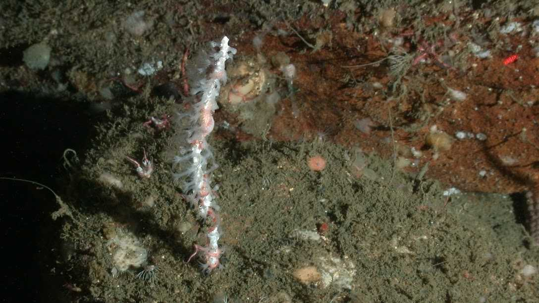 This is a new species of white coral, found in an area known as The Football. Credit: NOAA