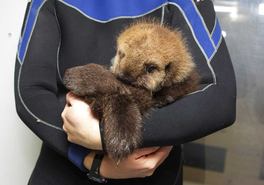 Pup 681 was rescued by the Monterey Bay Aquarium from a beach north of Santa Cruz when she was 1 week old.