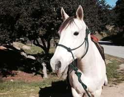 Becca - 13-year-old female Quarter Horse