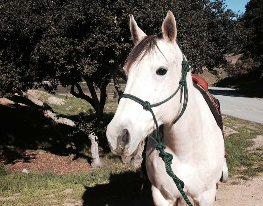 Becca - 13-year-old female Quarter Horse
