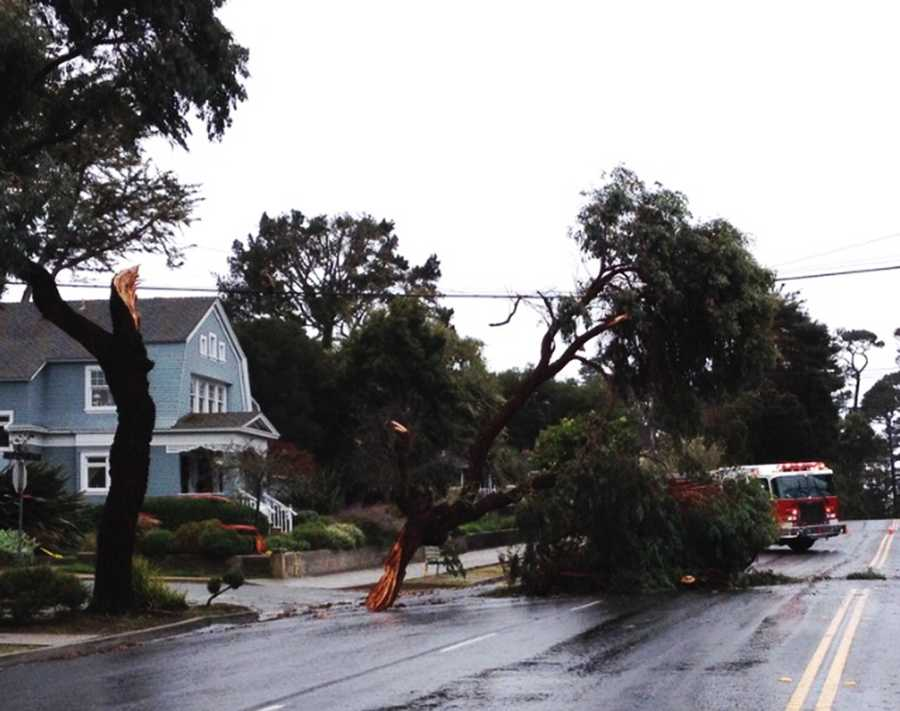 A tree split in Pacific Grove.