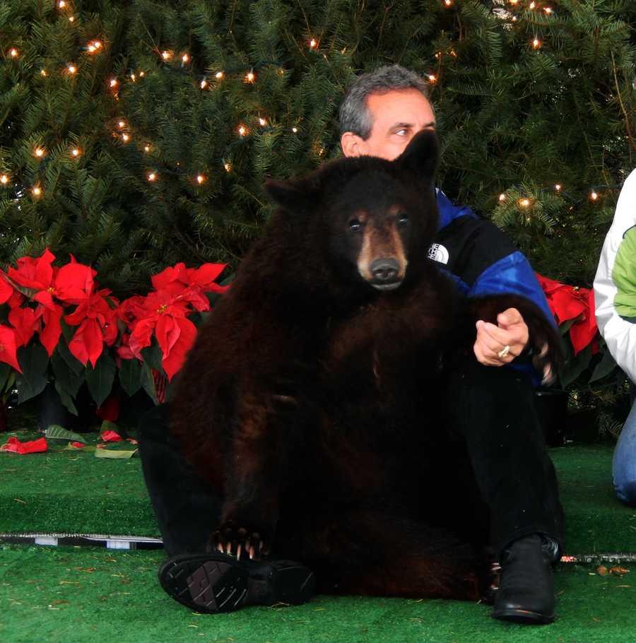 Black bear from Monterey Zoo