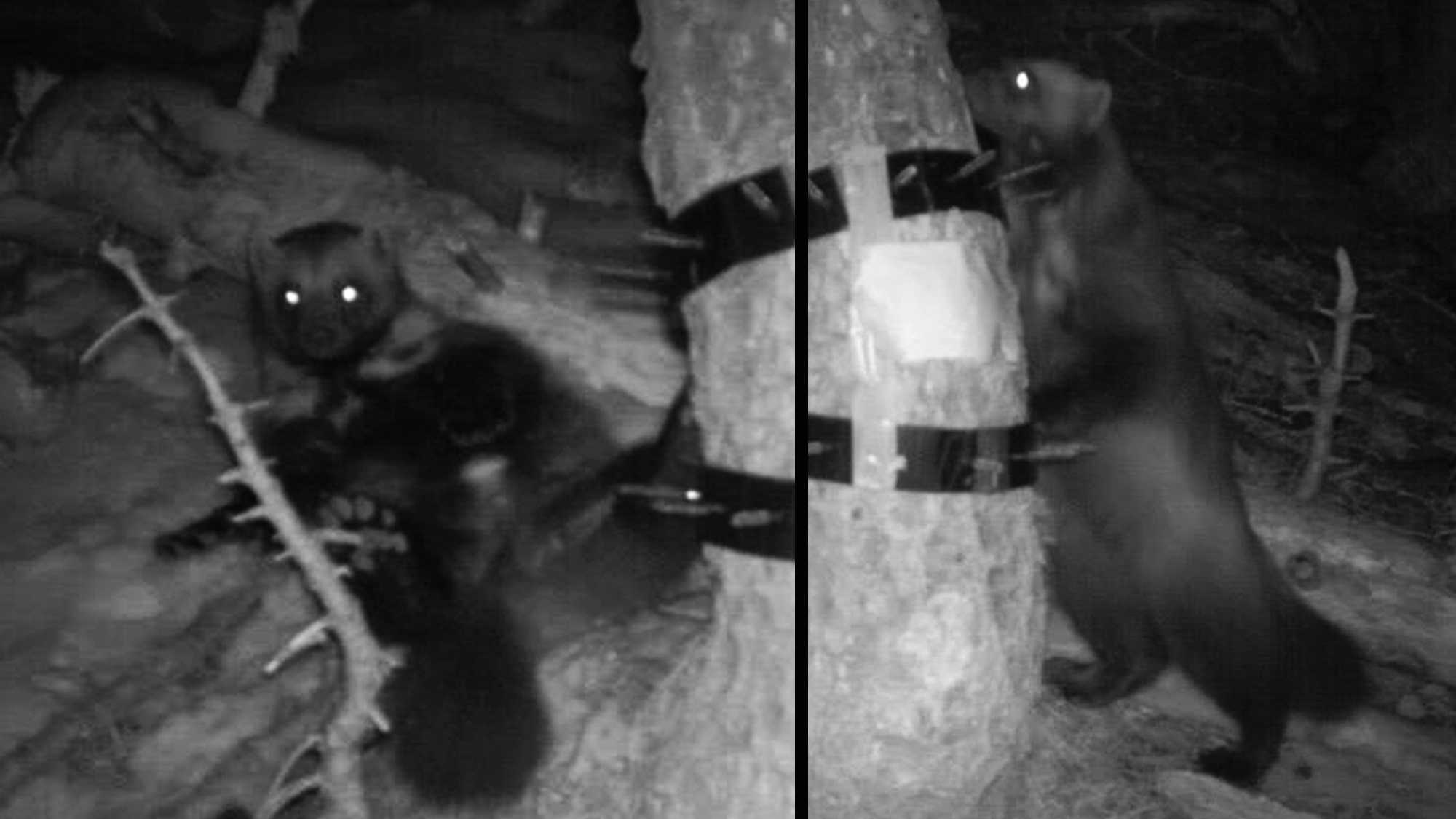 These rare photos show California's only wolverine.