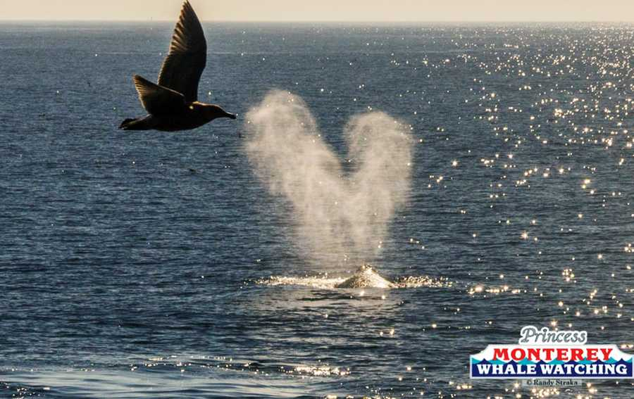 Another heart-shaped gray whale spout is seen as a bird flies by.