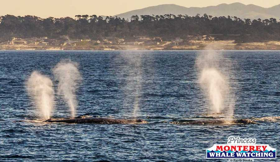It's peak winter season for seeing gray whales in the Monterey Bay as they swim south to warmer ocean waters.