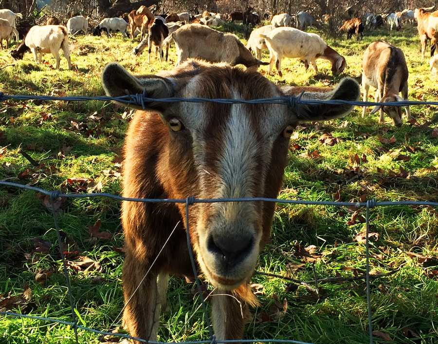 The giant herd is owned by the company Goats R Us, based in Orinda, Calif.