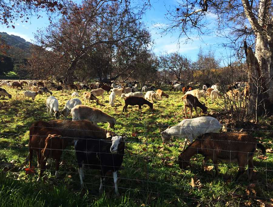Goats can eat just about anything, and in the fields along Highway 68, they are nibbling tough, prickly plants.