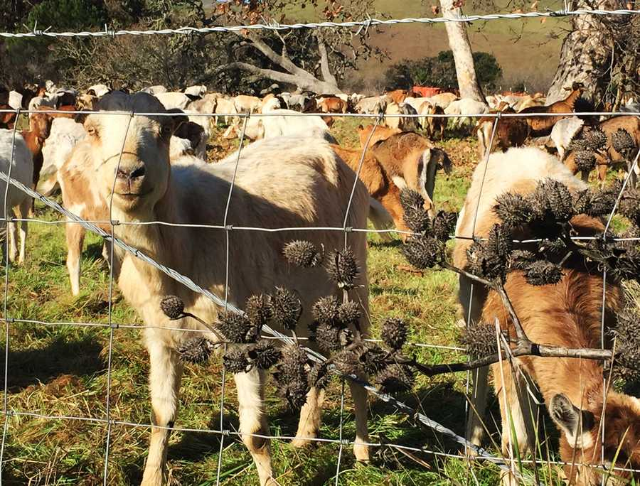 If you really like goats, take a drive along Highway 68 between Monterey and Salinas on Thursday and you will see 1,500 of the cute farm animals.