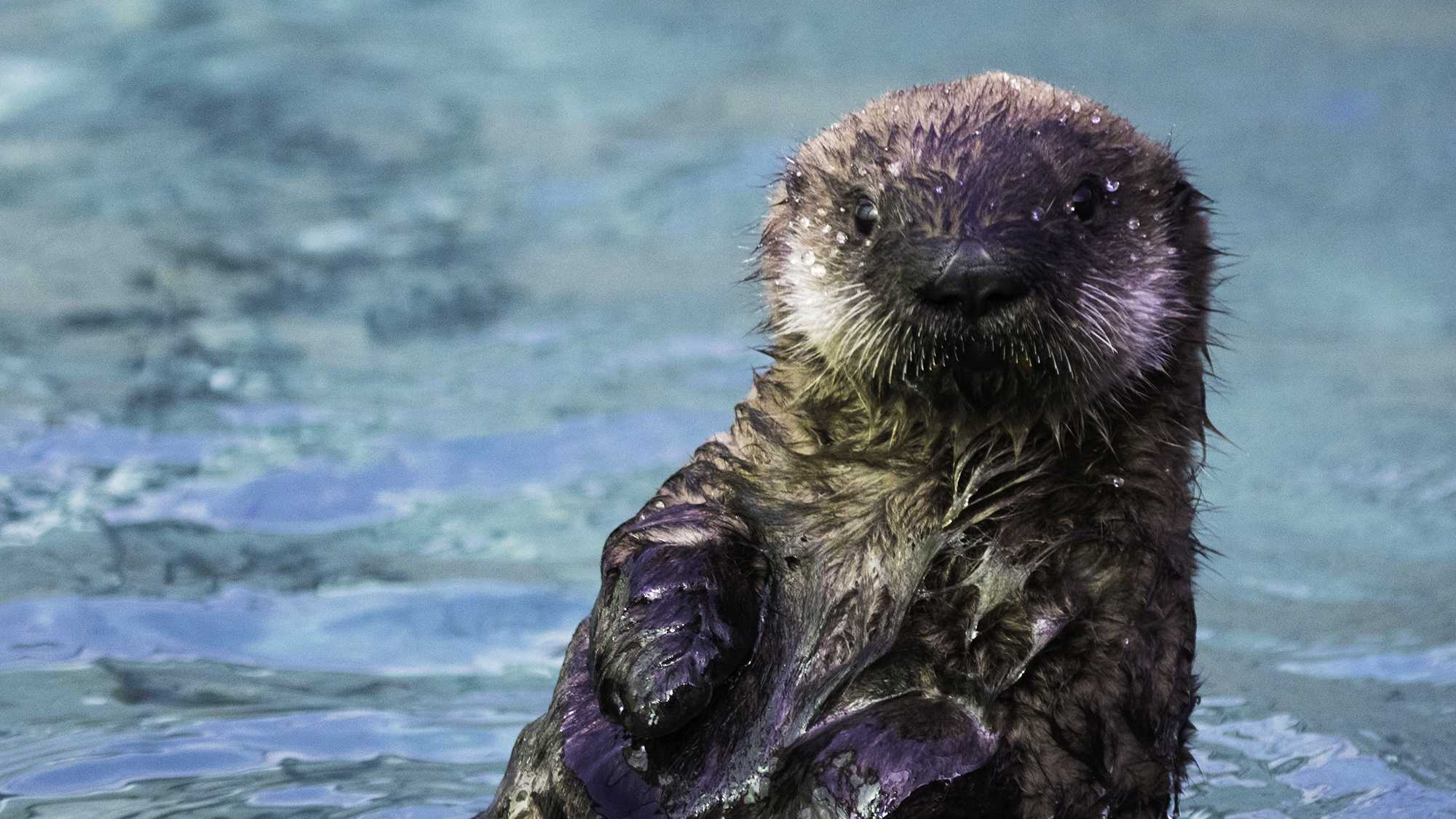 This adorable sea otter pup was born at UC Santa Cruz's  Long Marine Laboratory in November 2014.