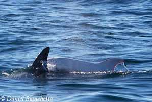 Marine animal experts aboard Monterey Bay Whale Watch confirmed it was the same white dolphin first seen off Monterey in August 2014.