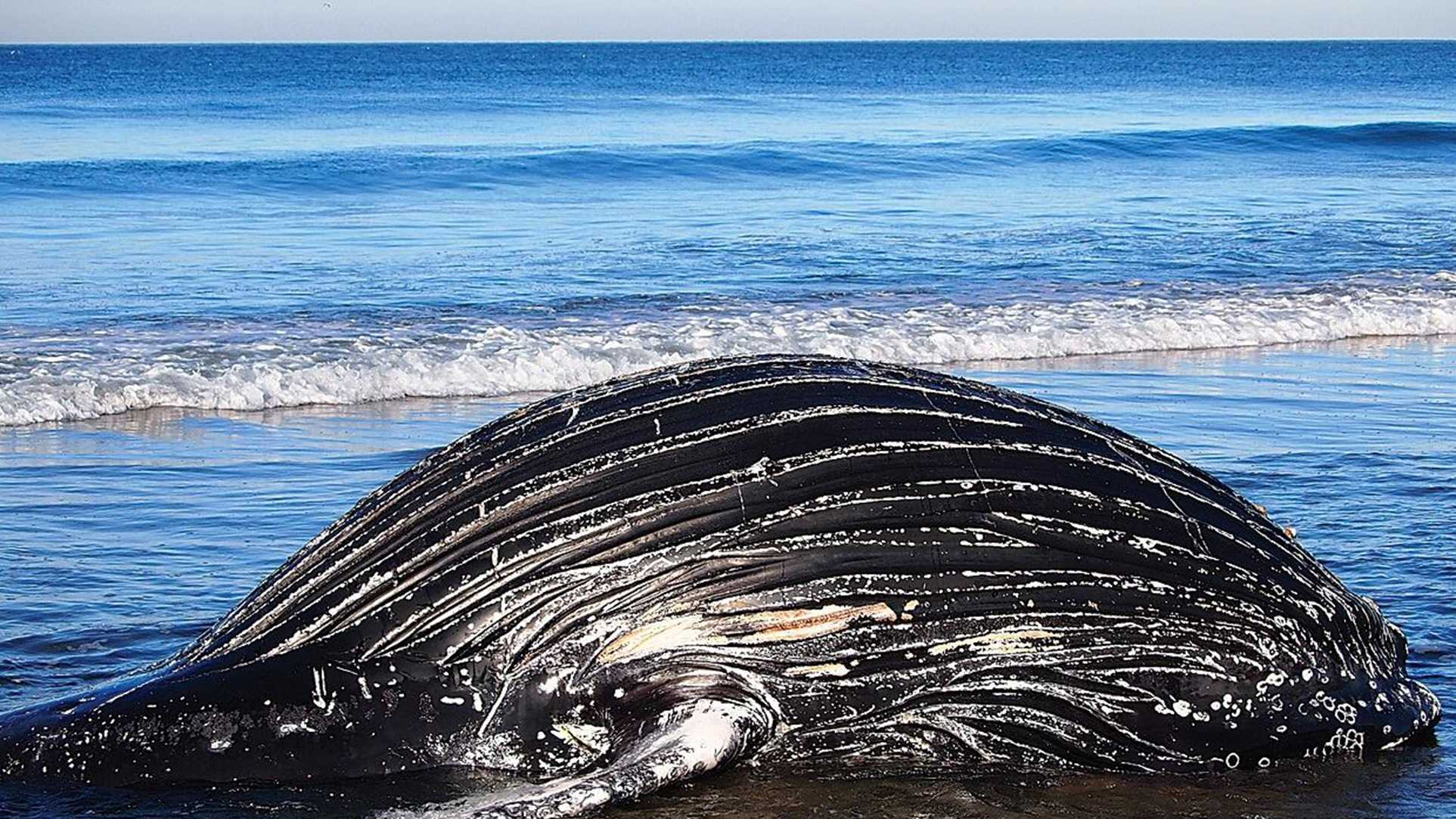 A humpback whale washed up at Sunset State Beach south of Aptos in March.