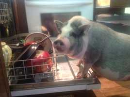 """""""Ringo is a happy pet potbelly owned and spoiled by Kimber Hoy and family. Here he is doing his part to help clean up after dinner! What a great guy!"""" 8/2014"""