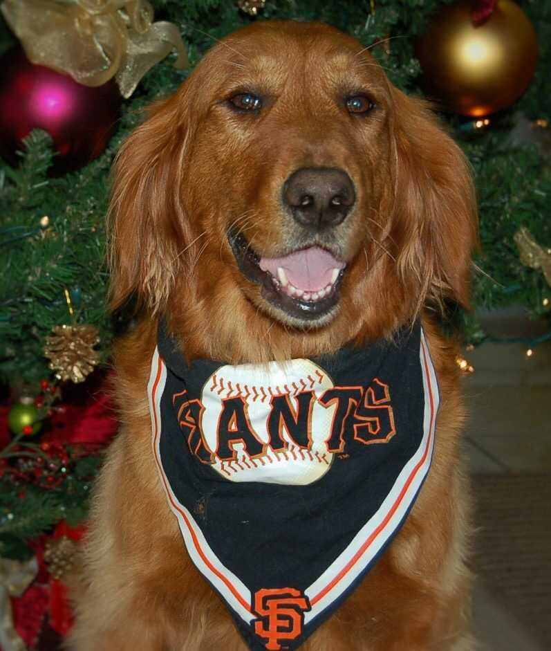 """""""Molly was a puppy mill mom rescue from Northern California Golden Retriever Rescue. She is now 6 years old and quite happy with her furever home with her three brothers."""" 12/2014"""