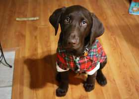 Ribsy the chocolate lab from Watsonville. / March 10, 2015