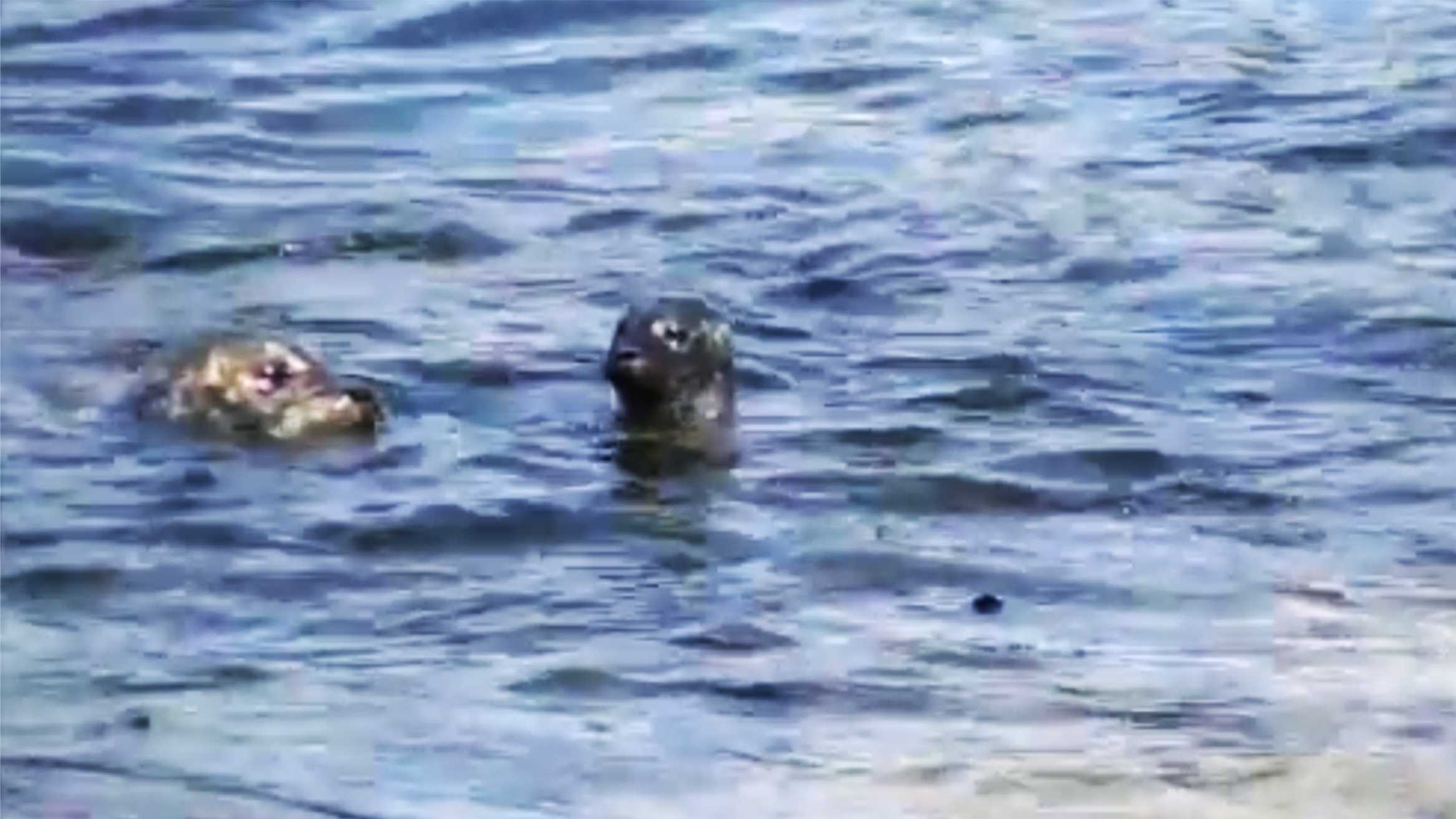 A harbor seal pup born in Pacific Grove on March 17, 2015 gets a swimming lesson from its mother.